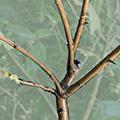 Arbuste taillé pour recevoir un nid