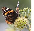 Un papillon Vulcain butine des fleurs de lierre